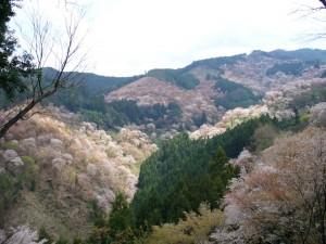 吉野の桜1