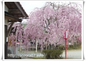 凱旋桜shinn