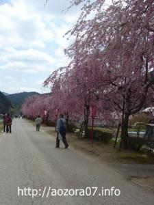 河原に植えられたしだれ桜