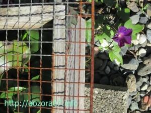 金魚水槽の横に咲いた朝顔